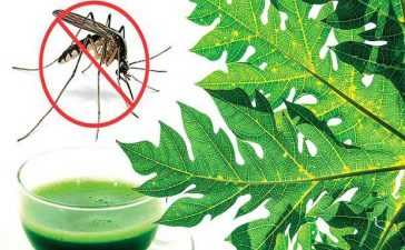 Use Papaya Leaves to Fight Dengue
