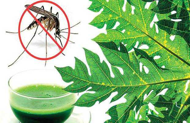 Use Papaya Leaves to Fight Dengue