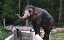 Cher Rejoices Elephant Kavaan