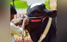 a beast bull named Ertugrul