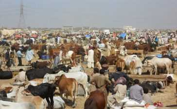 illegal Cattle Markets