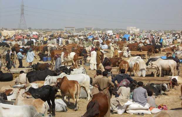 illegal Cattle Markets