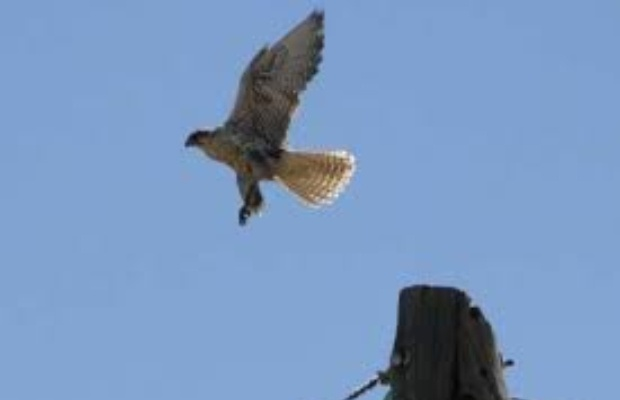 Siberian falcons recovered